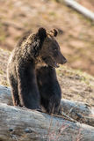 Bear in Yellowstone Park royalty free stock photography