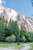 Bear in Yosemite National Park& x27;s Mirror lake Stock Photography