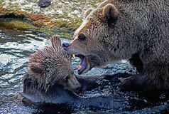 Bear with young cub in fight Stock Image