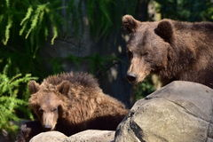 Bear and young ones Stock Photography