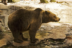 Bear in zoo. Brown bear in zoo stand side view Stock Photo