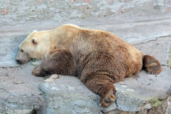 Bear in the zoo. Brown bear is relaxing in the zoo Stock Photography