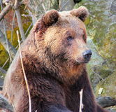 Bear in a zoo. Royalty Free Stock Images