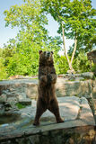 The bear in a zoo costs on hinder legs. The brown bear asks food from visitors of a zoo stock photo