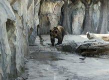 Bear in zoo. Wild animal bear in zoo stock photos