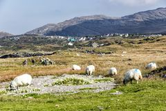 Beara Sheep in Eyeries Village. View looking towards the historic village of Eyeries on the Beara Peninsula in West Cork, Ireland Royalty Free Stock Photo