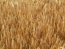 Bearbed wheat Stock Image