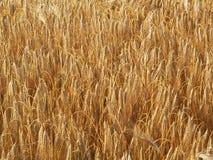 Bearbed wheat. KONICA MINOLTA DIGITAL CAMERA Stock Image