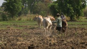 Bearbeiten des Landes mit dem Pflug mit Ochsen stock video