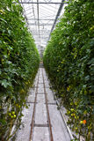 Bearbeitung der Tomaten stockfotografie