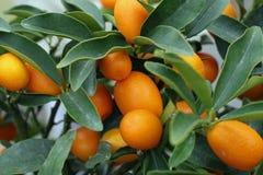 Bearbeitung der Zitrusfrüchte Stockbild