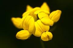 Bearbeitung des Gartens blüht, Nahaufnahme einer gelben Blume Stockbild