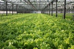 Bearbeitung des grünen Blattkopfsalates Stockfotos
