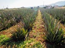 Bearbeitung von Aloevera-Plantage, gesunde Anlage benutzt für Medizin, Kosmetik, Hautpflege, Dekoration lizenzfreie stockbilder