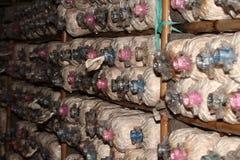 Bearbeitung von Bhutan-Austern-Pilzen von den Fischeiern im Bauernhof Stockfotografie