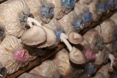 Bearbeitung von Bhutan-Austern-Pilzen von den Fischeiern im Bauernhof Stockbild