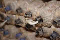 Bearbeitung von Bhutan-Austern-Pilzen von den Fischeiern im Bauernhof Lizenzfreie Stockfotos