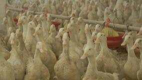 Bearbeitung von Enten für Verkauf als Fleisch an der Geflügelfarm stock video footage