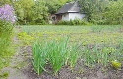 Bearbeitung von grünen Porrees im Garten im Frühjahr lizenzfreie stockfotografie