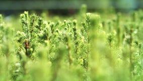 Bearbeitung von Kiefern von den Sämlingen gewachsen von den Samen Wachsende Kiefer stock footage