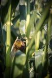 Bearbeitung von Mais auf einem Feld, Landwirtschaft lizenzfreies stockbild