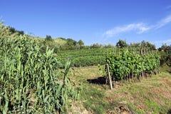 Bearbeitung von Mais und von Wein in Toskana in Italien Stockfotos