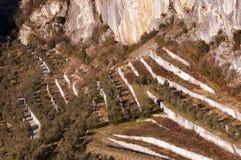 Bearbeitung von Olive Trees in den Terrassen - Italien Stockfoto