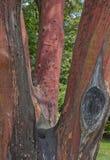 Bearberry δέντρο--Ντόπιος στο παράκτιο Pacific Northwest Στοκ Φωτογραφίες