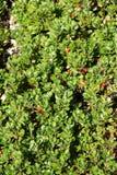 Bearberry ή kinnikinnick ή pinemat manzanita Στοκ Εικόνες