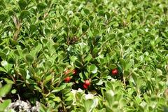 Bearberry ή kinnikinnick ή pinemat manzanita Στοκ φωτογραφία με δικαίωμα ελεύθερης χρήσης