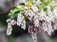 Bearberry ανθίζοντας λουλούδια Στοκ εικόνες με δικαίωμα ελεύθερης χρήσης