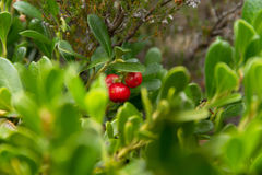 Bearberry εγκαταστάσεις με το κόκκινο φρούτων Στοκ Εικόνα