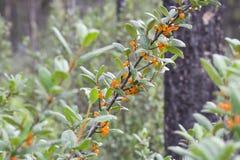 bearberry θάμνος Στοκ φωτογραφία με δικαίωμα ελεύθερης χρήσης