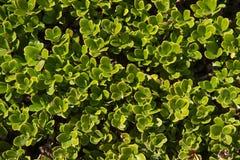 Bearberry φυτό και φύλλα Στοκ φωτογραφίες με δικαίωμα ελεύθερης χρήσης