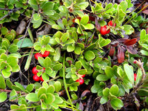 Bearberry Stock Photos