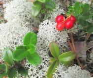 Bearberry Zdjęcia Stock