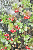 Bearberry (Arctostaphylos) Royalty Free Stock Image