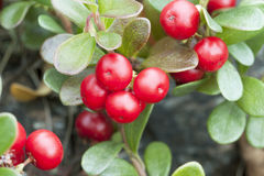 Bearberry (Arctostaphylos) Stock Photography