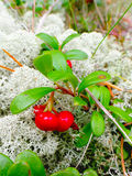 Bearberry. Bush on the background of moss Royalty Free Stock Image