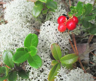 Bearberry. Bush on the cover of moss Stock Photos