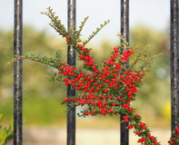 Bearberry Cotoneaster Or Cotoneaster Dammeri With Berries royalty free stock images