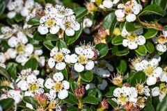 Bearberry cotoneaster Cotoneaster dammeri shrub, native to central and southern China, and naturalized in Europe stock image