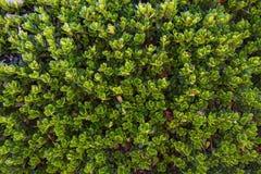 Bearberry liście i roślina obraz stock
