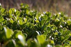 Bearberry liście i roślina zdjęcie stock