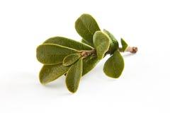 Bearberry opuszcza Arctostaphylos uva-ursi zdjęcie royalty free