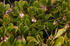 Bearberry Plant and Flowers Stock Image