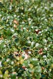 Bearberry plant from the heather family. Arctostaphylos uva-ursi. Bearberry plant from the heather family. Occurs in the Northern Hemisphere in the temperate Royalty Free Stock Photography