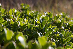 Bearberry Plant and leaves Stock Photo