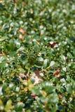 Bearberry roślina od wrzos rodziny fotografia royalty free