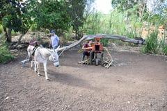 Bearbeta av Sugar Cane på Santa Cruz Island i Galapagosen Royaltyfri Fotografi